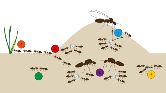 diagram-of-a-typical-ant-colony-representing-the-six-topics-discussed-in-this-review-1