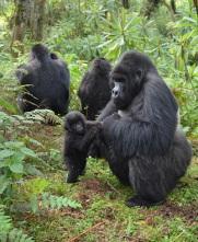 gorillas-grooming