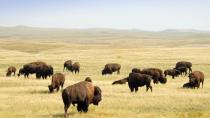 buffalo00079