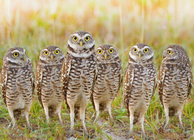 burrowing-owls-parliament.jpg.653x0_q80_crop-smart