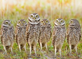 burrowing-owls-parliament.jpg.653x0_q80_crop-smart