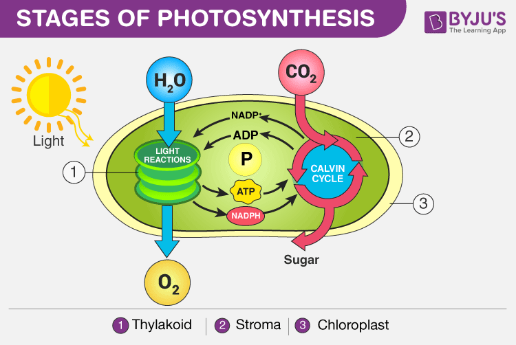stages-of-photosynthesis