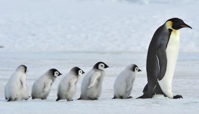 emperor-penguins-1-antarctica-vlad-silver