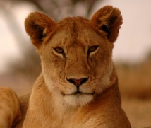 1200-1265896-lioness-resting